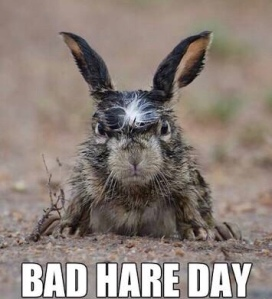Bad hare day with wet dirty hare. Meme