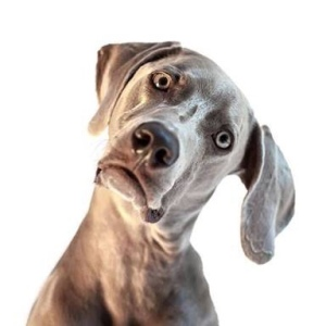 Grey dog with head tilted to side