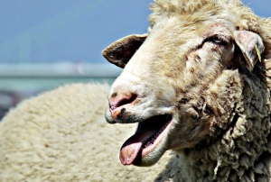 White sheep in paddock with mouth open