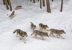 Wolf pack walking in snow, wolves, pack animals hunting.